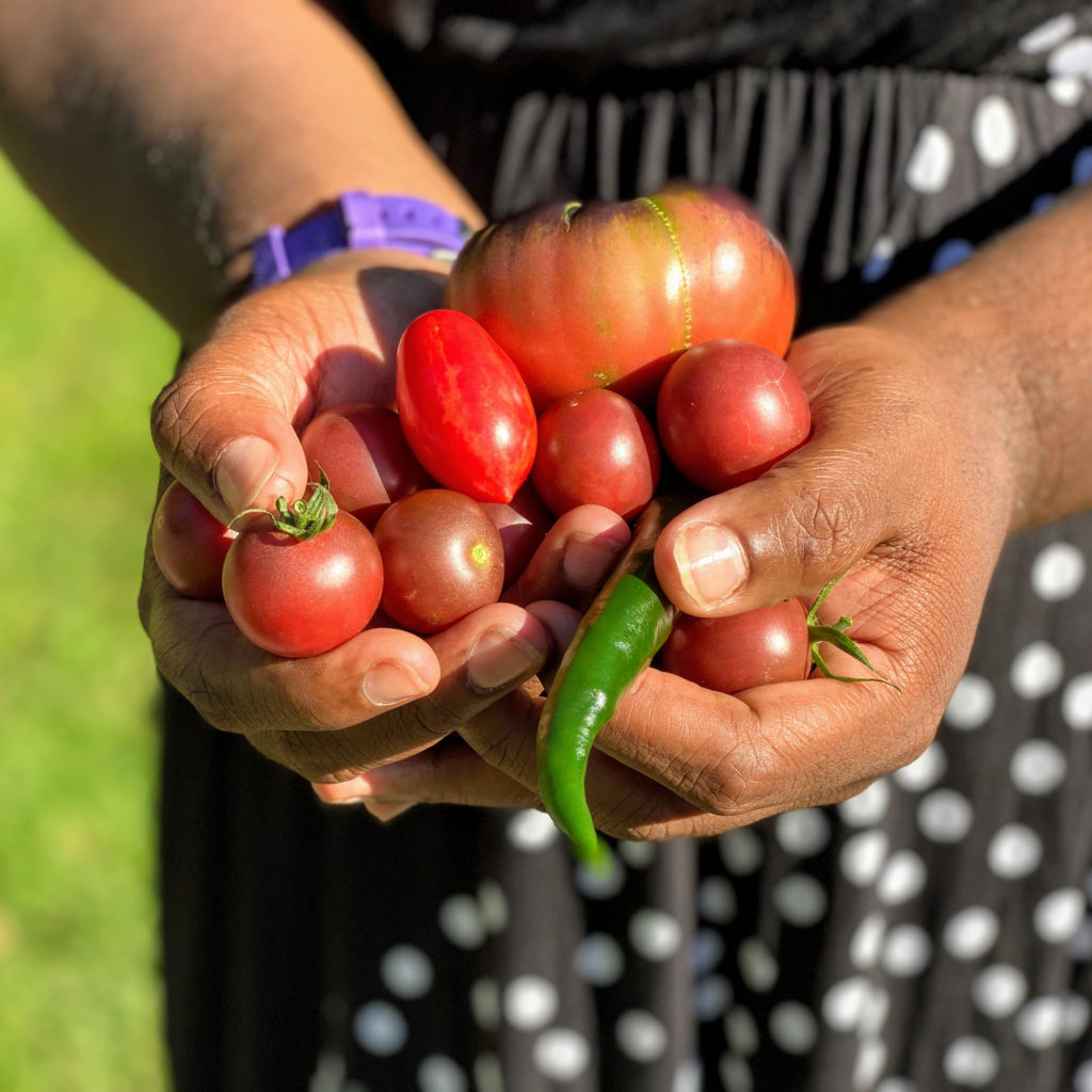 Hands of a black person holding freshly picked garden vegetables.